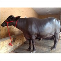 Murrah Hybrid Buffalo