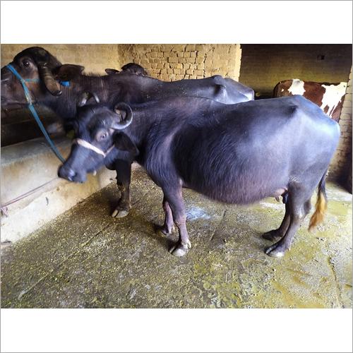 Original Murrah Buffalo