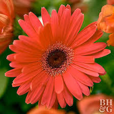 Gerbera flowers plants