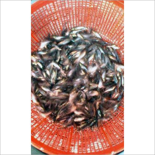 Pangasius Fish Seed