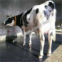 Crossbreed HF Cow