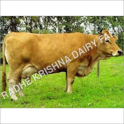 CROSS Breed Jersey Cow