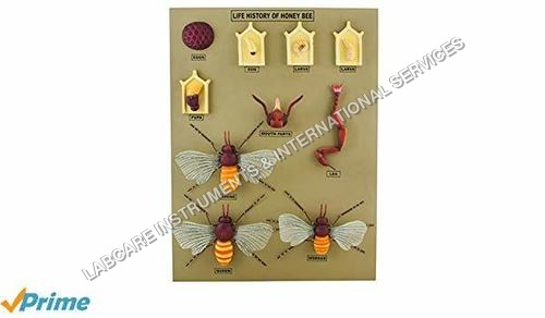 Life history of Honey bee model