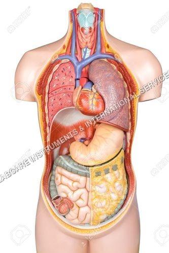 Human Body (Torso Small size)