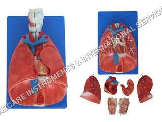 Lungs with heart & Larynx Model