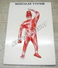 Muscular System Front View Model
