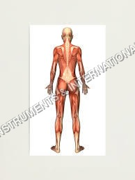 Muscular System Back View Model