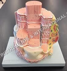 Skeletal Muscle Fibre model