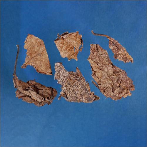 Folium Eucommiae