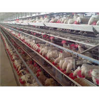 Poultry Layer Cages