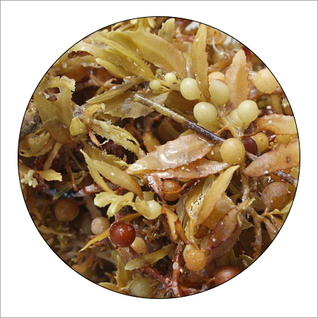 Organic Seaweed Fertilizer