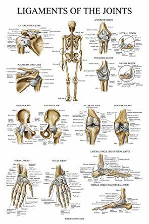 Joints & Ligaments charts