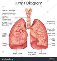 LUNGS CHART