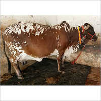 High Yield Pure Rathi Cow
