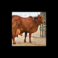 Sahiwal Cow Supplier in Tamil Nadu