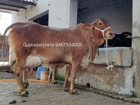 Brown Sahiwal Cow Supplier In Karnataka
