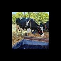 Best Hf Cow Supplier In Madhya Pradesh