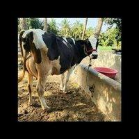 Best Hf Cow Supplier In Karnataka