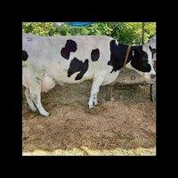 Best Hf Cow Supplier In Haryana