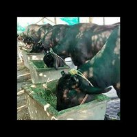 Murrah Buffalo Supplier in Andhra Pradesh
