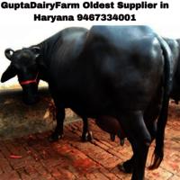 Murrah Buffalo Price In Haryana