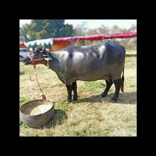 Murrah Buffalo supplier in uttar pradesh