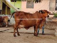 Best Sahiwal Cow Supplier In Maharashtra