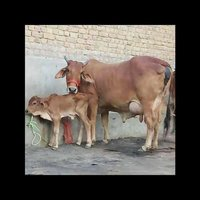 Sahiwal Cow For Milking