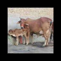 Sahiwal Cow For Sale In Haryana