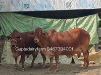 Sahiwal Cow Top Quality