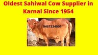Healthy Sahiwal cow