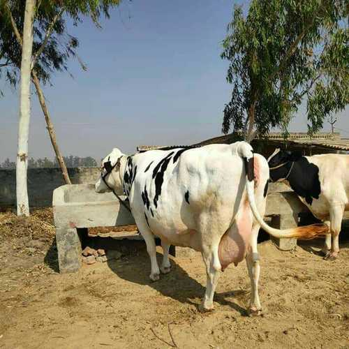 Pure Breed HF Cow