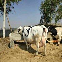 Hf Cow Supplier In Ahmednagar
