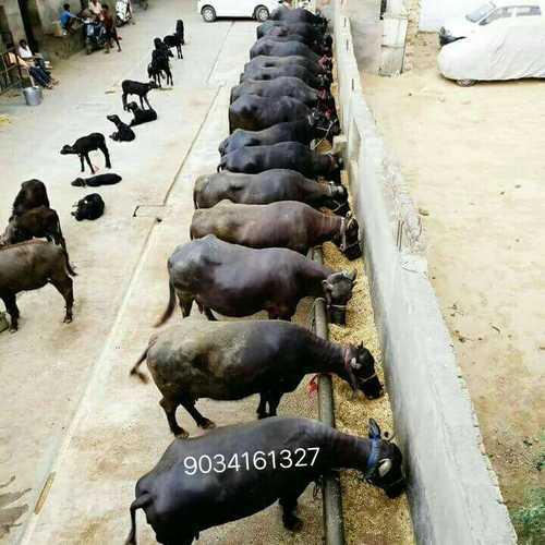 Murrah Buffalo for Dairy