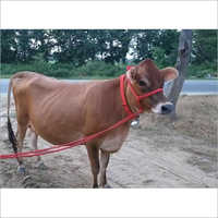 Pure Jersey Cow