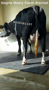 Hf Cross Cow