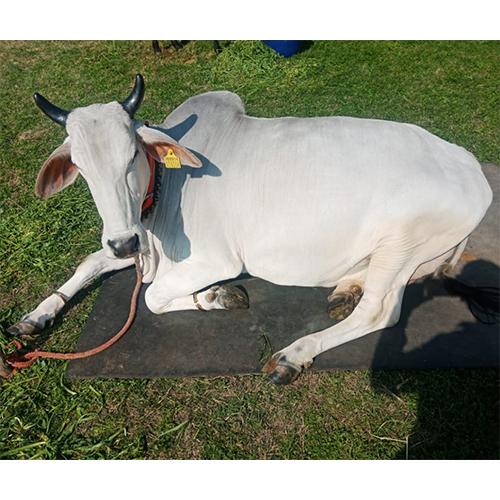 Desi Cow
