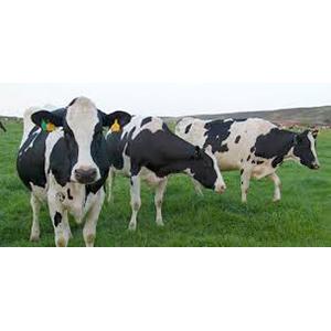 Holstein Friesian Milking Cows