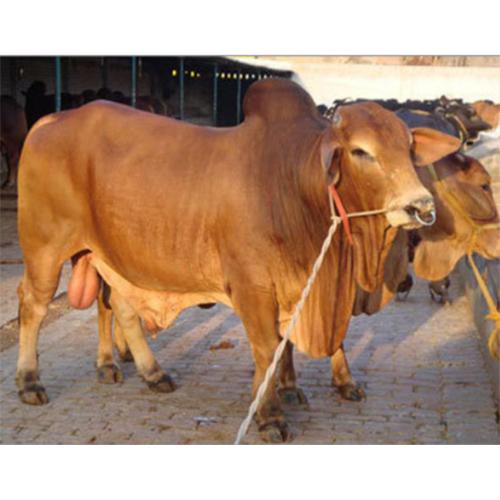 Sahiwal Dairy Bull