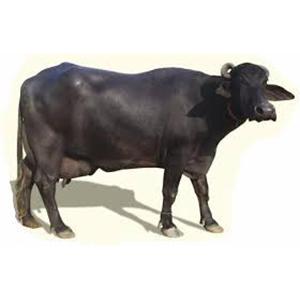 Mehsana Buffalo