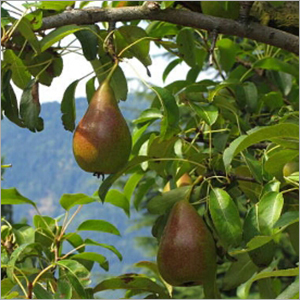 Fresh Sweet Pears