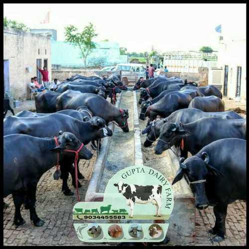 Black  Murrah Buffalo Supplier In Haryana
