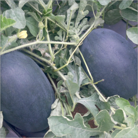 Netravati Prime Watermelon Seeds