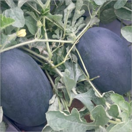 Netravati Prime Watermelon Seeds
