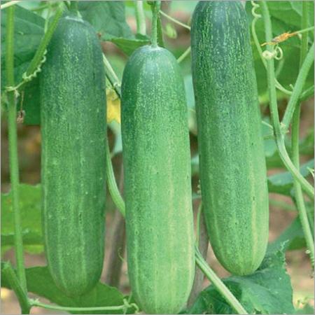 Mansi Prime Cucumber Seeds