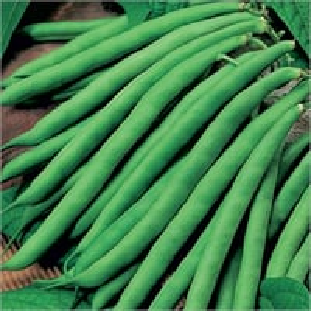 RAG-505 Prime Faiguni French Bean Seeds