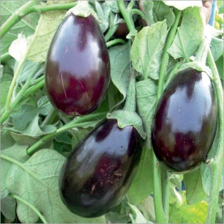 Kumardhara Prime Brinjal Seeds