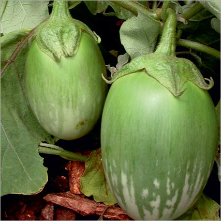 Mahanandi Brinjal Seeds