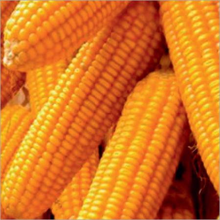 Amrita-5081 Maize Seeds
