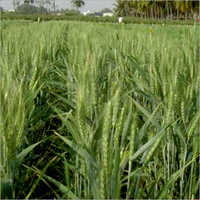 RAG-900 Prime Wheat Seeds